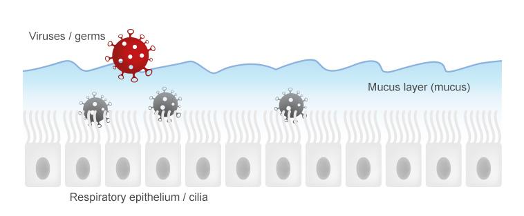 Respiratory mucous membranes