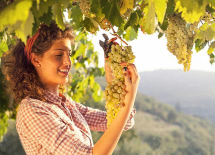 A woman underneath a grapevine holding a grape bundle